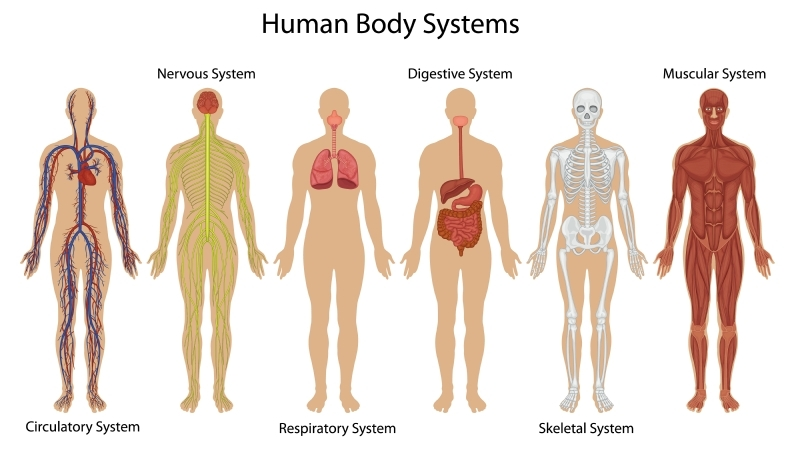 Illustration showing the different systems of the human body