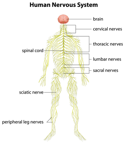 An illustration of the nervous system